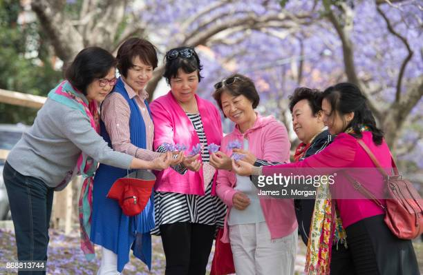 Six women hold the jacaranda flower in McDougall Street in Kirribilli on November 1 2017 in Sydney Australia Jacaranda trees are not native to...