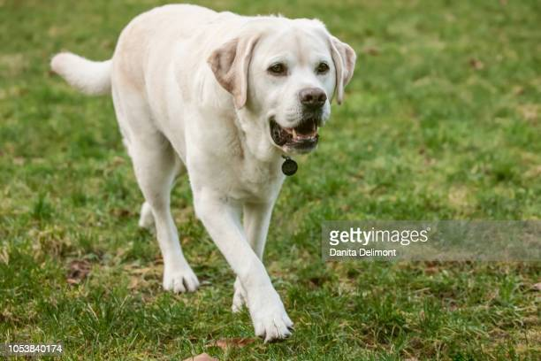 six year old english yellow labrador (canis familiaris) walking in park, issaquah, washington state, usa - state stock pictures, royalty-free photos & images