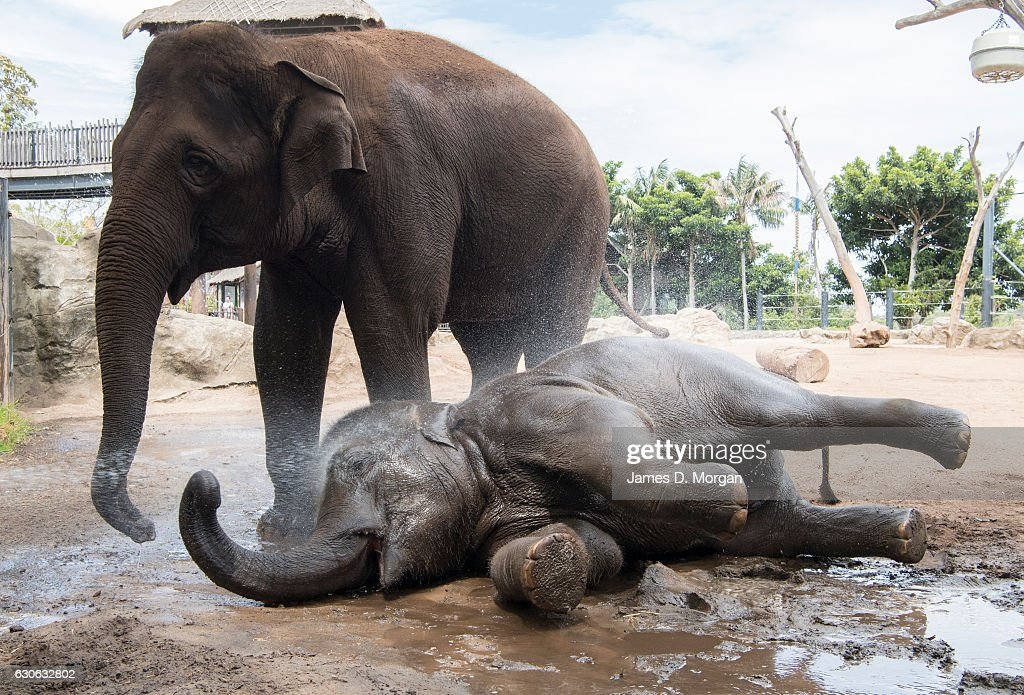 Six year old female Asian elephant Tukta rolls in the mud, as keepers hose her down and another elephant watches her on December 29, 2016 in Sydney, Australia. The Bureau of Meteorology is forecasting heatwave temperatures across Sydney until Friday.