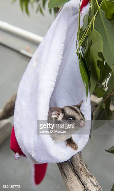 A six year old Sugar Glider peering out of its Christmas stocking for their favourite food nectar at Wild Life Sydney Zoo on December 23 2016 in...