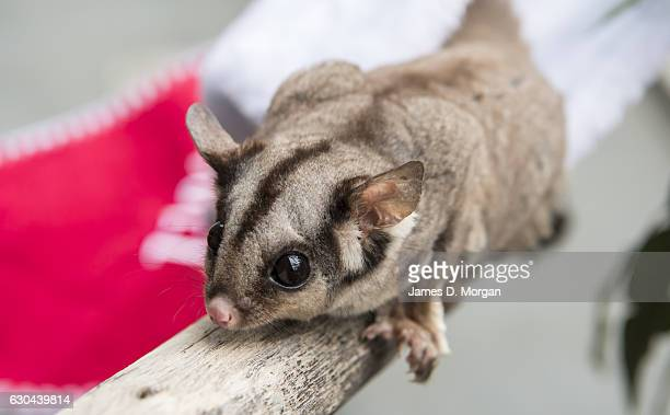 A six year old Sugar Glider searching for their favourite food nectar at Wild Life Sydney Zoo on December 23 2016 in Sydney Australia Together with...