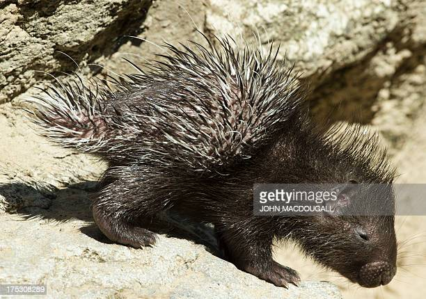 A sixdayold whitetailed porcupine crawls in its enclosure at Berlin's Tierpark zoo on August 2 2013 Whitetailed porcupines are usually found in the...