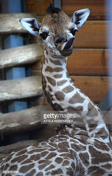 A sixdays young baby giraffe Ikinya is pictured at the 'Giraffe House' in the Zoo and Botanic Garden of Budapest on February 6 2015 The new born...