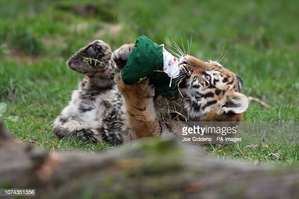 Sixmonthold Amur tiger cub Makari plays with a Christmas stocking during a photo call at Whipsnade Zoo in Dunstable Bedfordshire