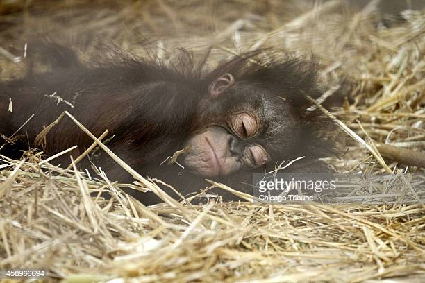 Sixmonthold orangutan Kecil bonds with his surrogate mom Maggie a 53yearold Bornean orangutan at the Brookfield Zoo on Wednesday Nov 12 in Brookfield...