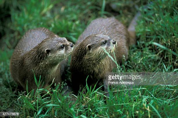 'Sixpence and Hobo sister and brother Two shortclawed Asian otters born and hand reared at the Chestnut Centre a haven and sanctuary for four species...