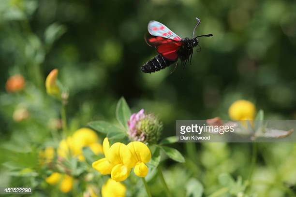 Sixspot Burnet moth flies in search of nectar in Ladywell Park on July 22 2014 in London England Many insects can be seen emerging during the summer...