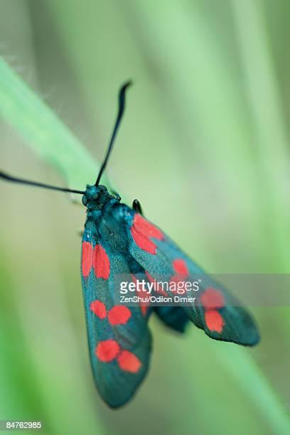 Six-spot burnet moth (zygaena filipendulae) perched on blade of grass
