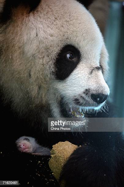 Sixteen yearold Bai Xue holds her newlyborn panda cub as she eats bread at the Wolong Giant Panda Protection and Research Centre on August 8 2006 in...