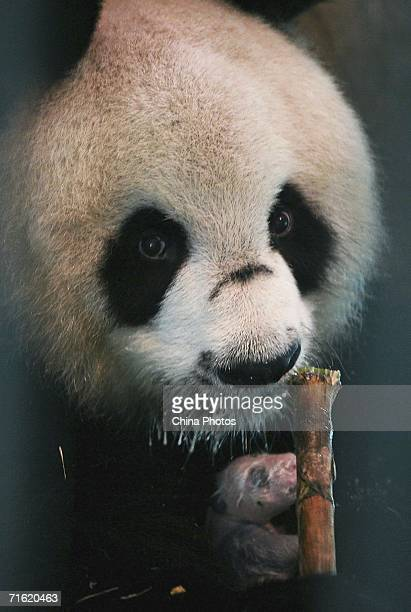 Sixteen yearold Bai Xue holds her newlyborn panda cub as she eats bamboo at the Wolong Giant Panda Protection and Research Centre on August 8 2006 in...