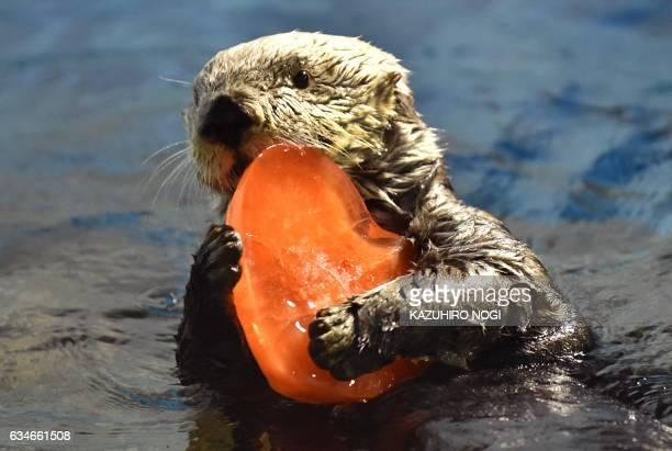 Sixteenyearold Alaskan sea otter 'Yutan' swims with a heartshaped block of ice presented by his keeper at the Hakkeijima Sea Paradise amusement park...