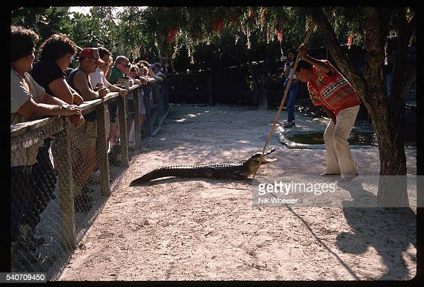 Sixty year old Bobby Tiger a Miccosukee Indian commands the attention of a local alligator during a demonstration of his alligator wrestling...
