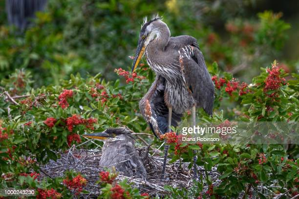 six-week-old great blue heron chicks at venice audubon rookery, - day old chicks stock photos and pictures