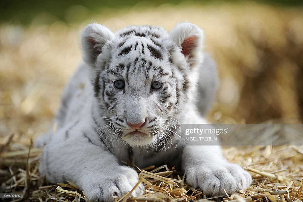 A six-week-old white tiger baby sits in its enclosure on April 21, 2010 at the Serengeti-Park in Hodenhagen, northern Germany. Two white tiger babies, Rico and Kico, were born on last March 8, but their parents Bianca and Paul rejected them so that zookeepers take care of the cubs.