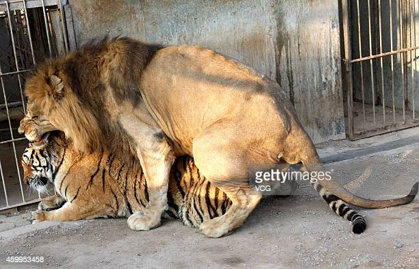 Sixyearold male lion Zhuang Zhuang and fouryearold female tiger Le Le stay together at Quanzhou Zoo on January 28 2013 in Quanzhou Fujian Province of...