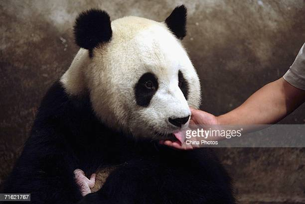 Sixyearold Zhang Ka licks a feeder's hand after delivered the heaviest baby this morning at the China Wolong Giant Panda Protection and Research...
