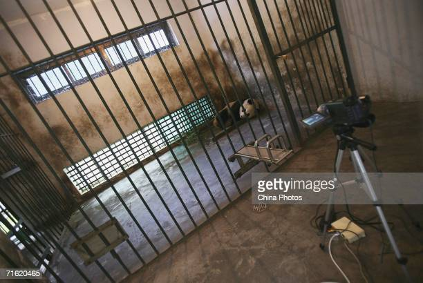 Sixyearold Zhang Ka rest in a cage as she is monitored by a video camera at the China Wolong Giant Panda Protection and Research Centre on August 8...