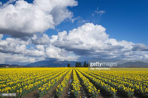 skagit valley daffodil fields, washington - field of daffodils stock pictures, royalty-free photos & images