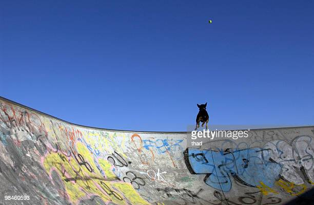 skate ramp, dog, ball - sydney chase stock pictures, royalty-free photos & images