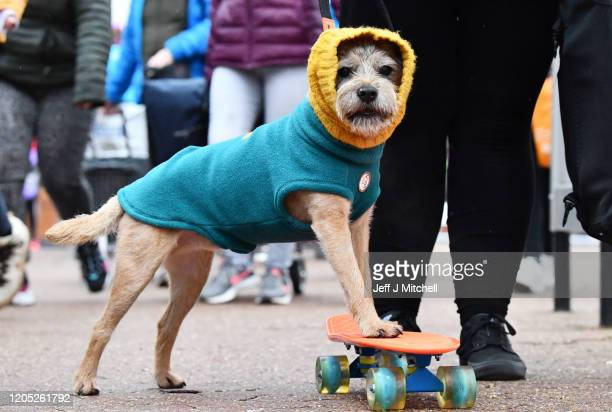 A skateboarding Terrier arrives for day one of Crufts 2020 at National Exhibition Centre on March 5 2020 in Birmingham England