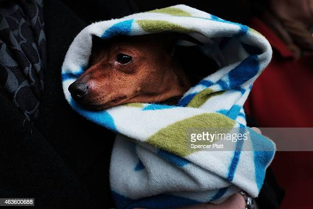 Skeeter a Miniature Pinscher is kept warm by his owners while waiting for a shuttle at the Westminster Kennel Club Dog Show on February 16 2015 in...