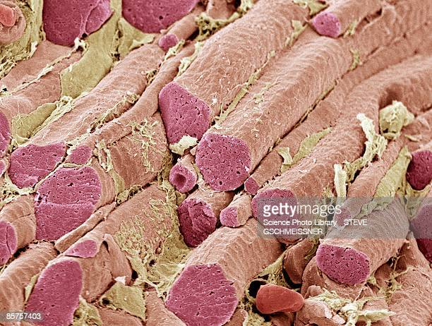 skeletal muscle fibers, scanning electron microscope (sem) - sem stock pictures, royalty-free photos & images