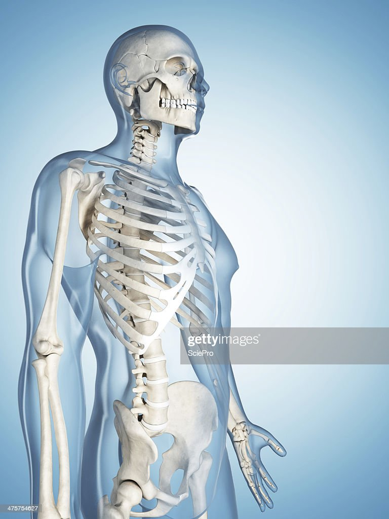 Skeletal System Upper Body Stock Photo Getty Images