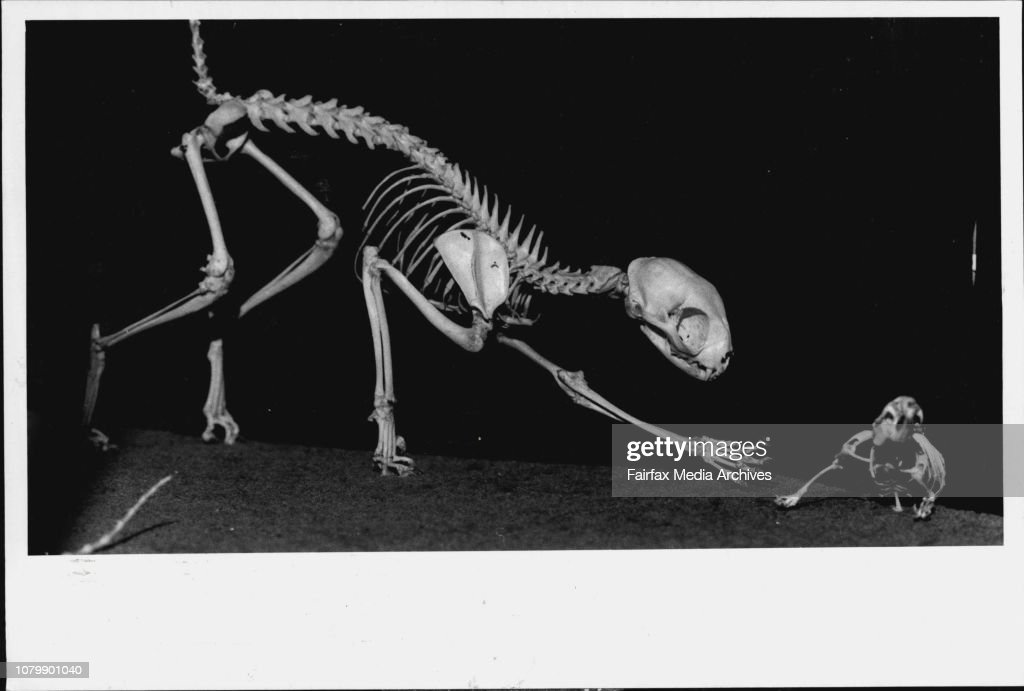 Skeleton Gallery, Australia Museum.Them Bones ... A selection of the many skeletons on view at the new Skeleton Gallery at the Australia Museum Pictured are clockwise 'Home Sweat Home,' Cat and Mouse, a Snake, the rib cage of an elephant and a Penguin.Cat : News Photo