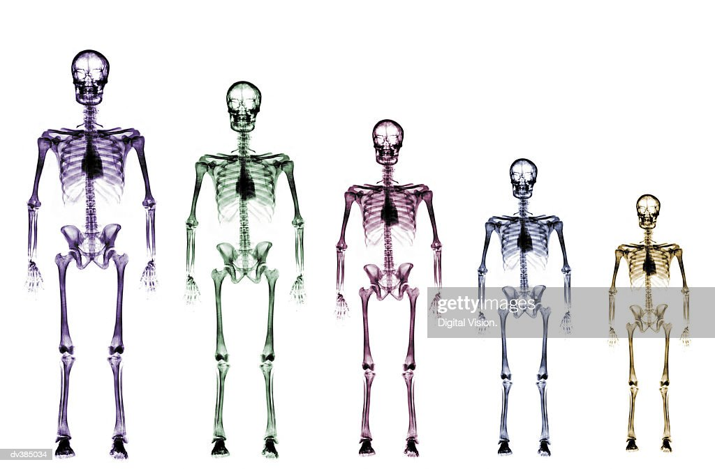 Skeleton Growth Chart Stock Photo Getty Images