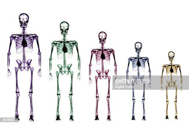 skeleton growth chart - human skeleton stock photos and pictures