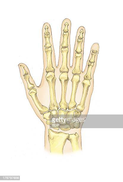 Hand Bone Stock Photos and Pictures | Getty Images