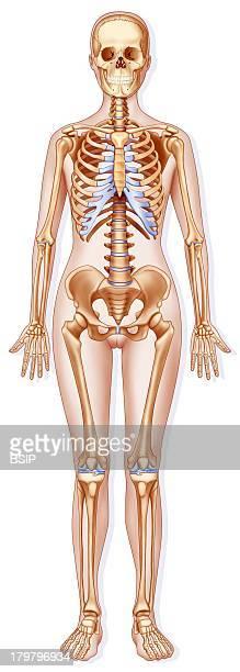 Skeleton Illustration Human Skeleton In A Woman Silhouette Larger Pelvis For Childbirth