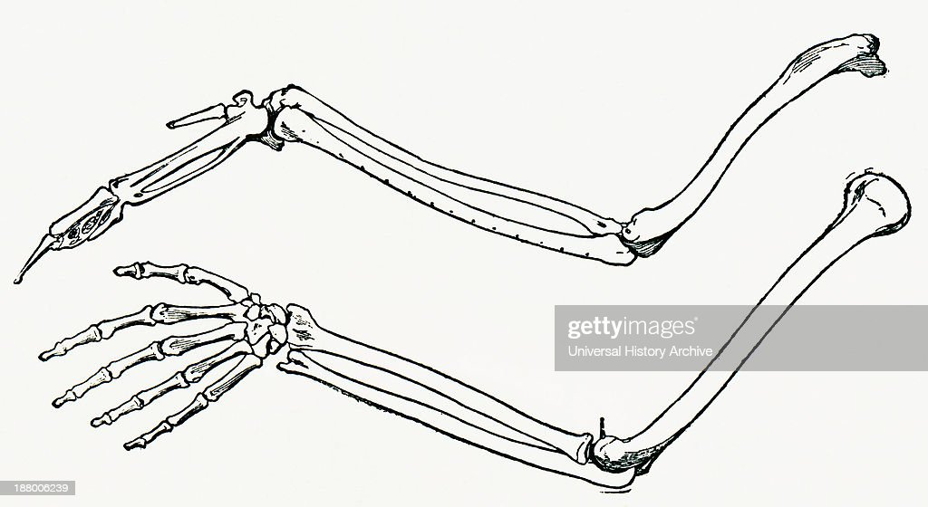 Skeleton Of A Birds Wing And Of A Mans Arm And Hand Pictures
