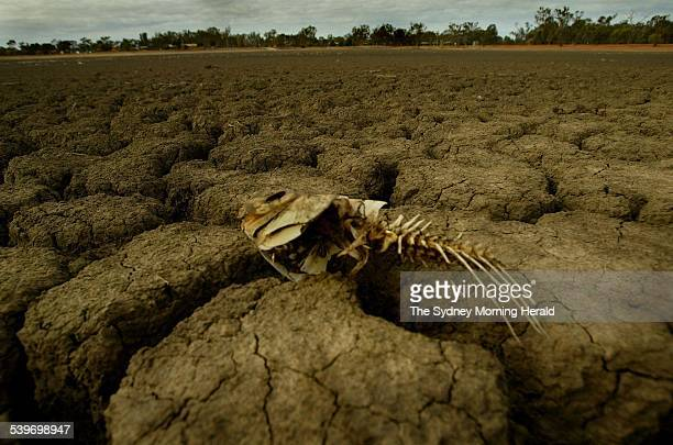 A skeleton of a carp washed up on the dry bed at Gumbend Lake Condobolin NSW 17 June 2005 SMH Picture by KATE GERAGHTY