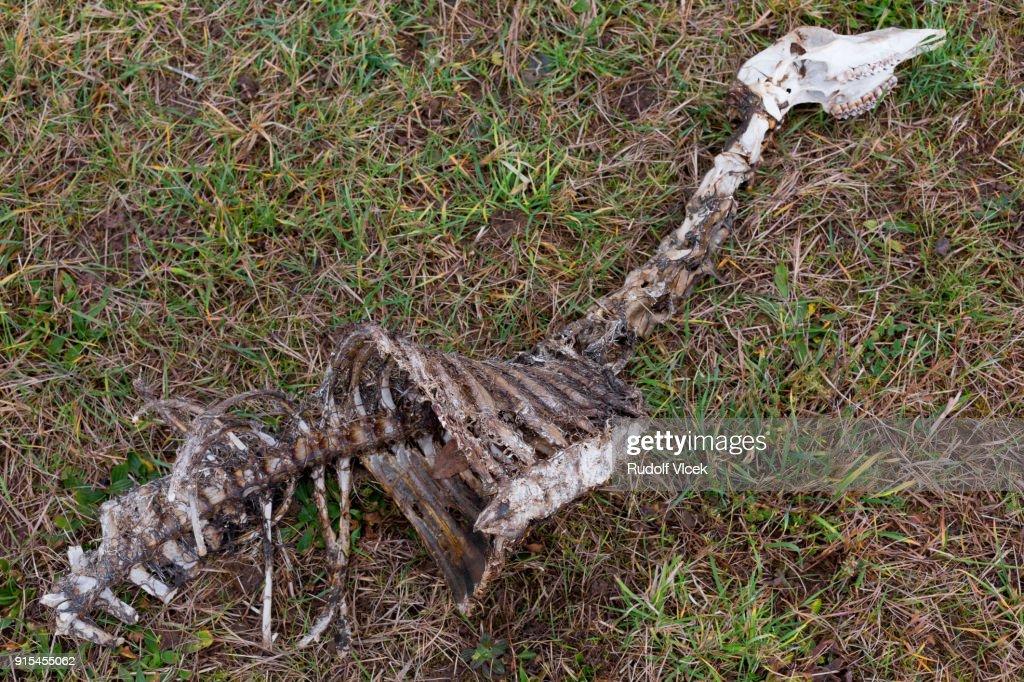Skeleton of a dead roe deer on a meadow : Stock Photo