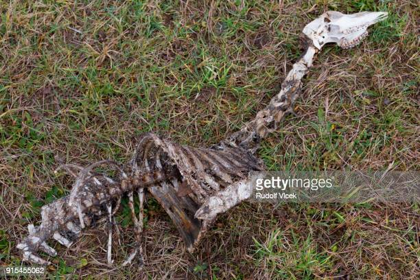 skeleton of a dead roe deer on a meadow - dead deer stock photos and pictures