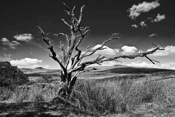 Skeleton of a dead tree on Dartmoor.