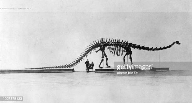 Skeleton of a Diplodocus in the Museum of Natural History in Paris a donation by the USAmerican industrialist Andrew Carnegie Vintage property of...