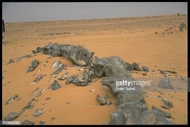 Skeleton of a herbiverous dinosaur covered by sand in the windswept Sahara.