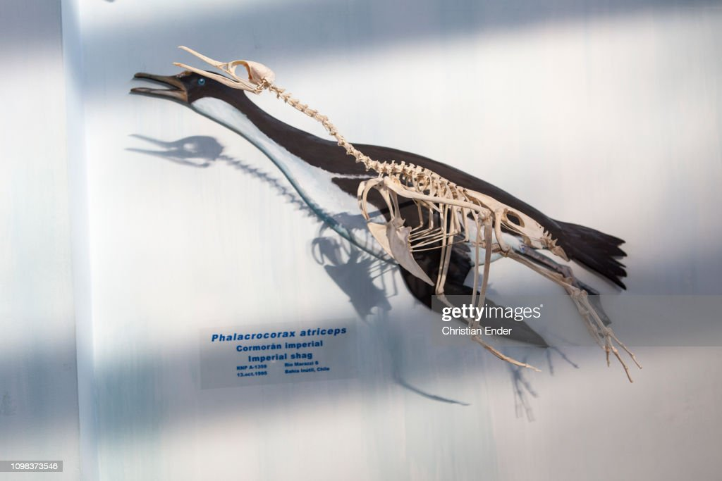 acatush�n museum in tierra del fuego in argentina  skeleton of a king  penguin