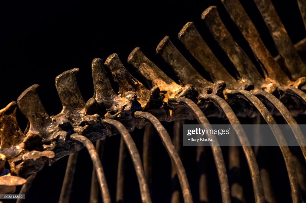 Skeleton of animal's spine and rib cage : Stock Photo