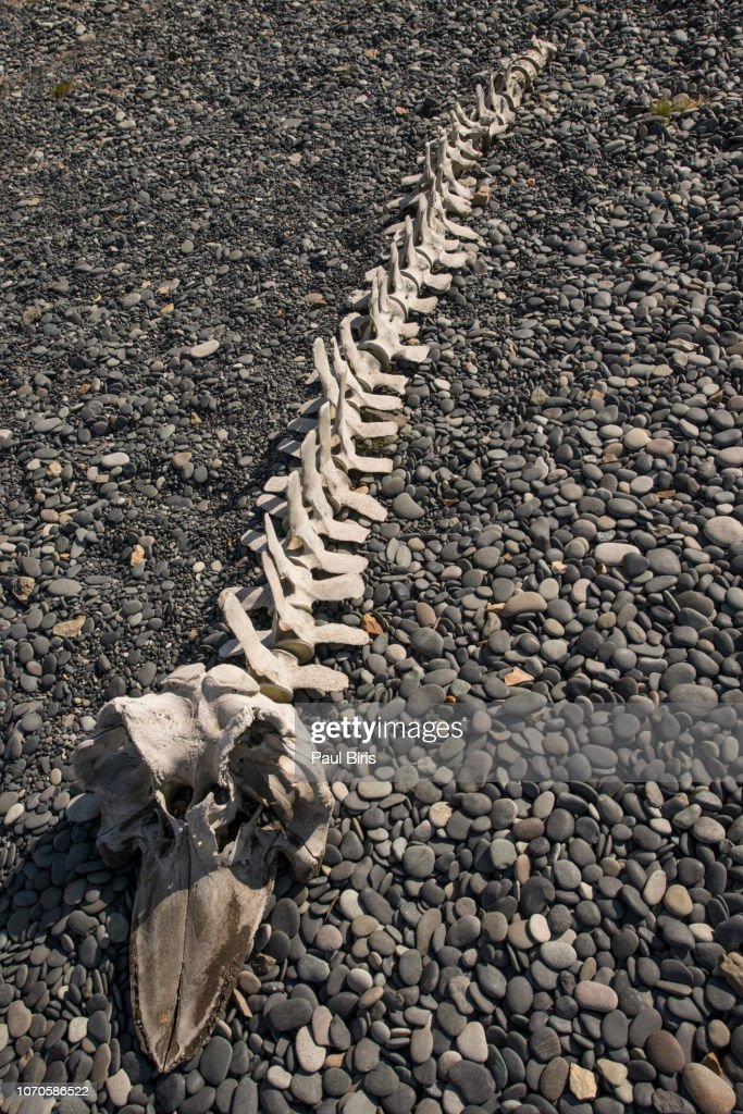 Skeleton of big fish on the Beach in Iceland : Stock Photo