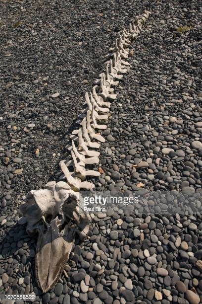 skeleton of big fish on the beach in iceland - animal rib cage stock photos and pictures