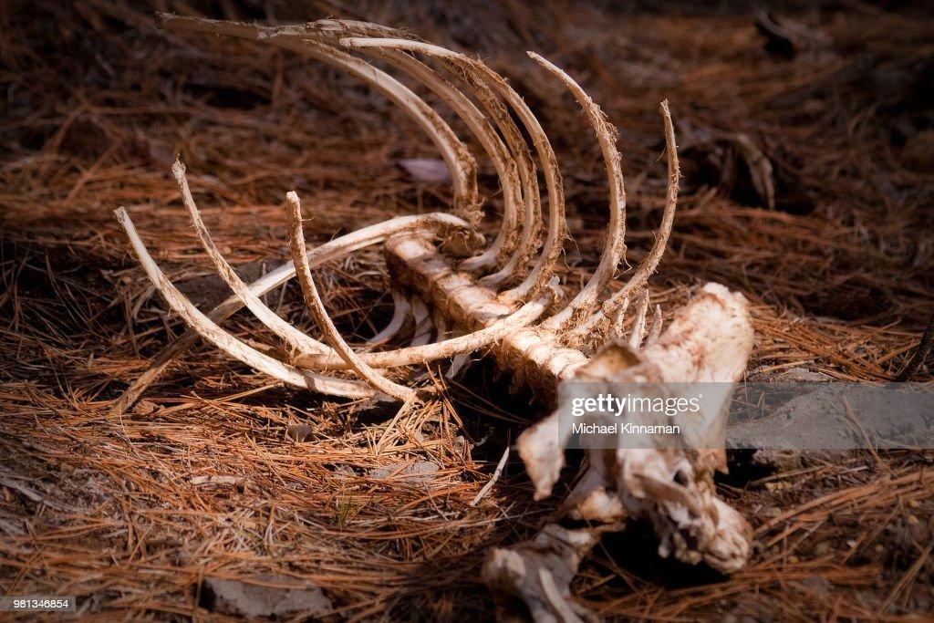 Skeleton of deer in forest, Oregon, USA : Stock Photo