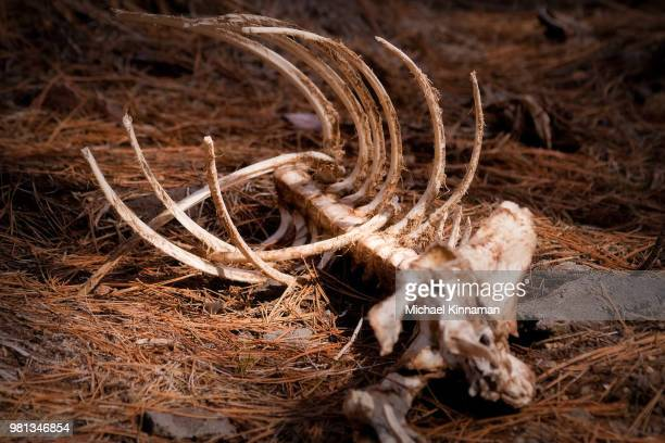 skeleton of deer in forest, oregon, usa - animal skeleton stock photos and pictures