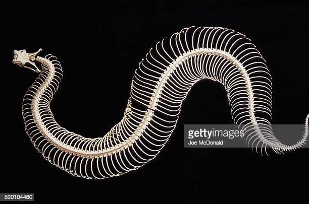 skeleton of gaboon viper in central africa - esqueleto animal - fotografias e filmes do acervo