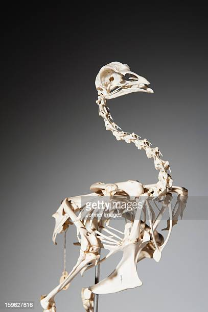 skeleton of hen - animal bones stock photos and pictures
