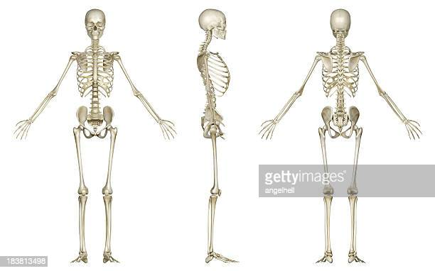 Skeleton of woman, for study