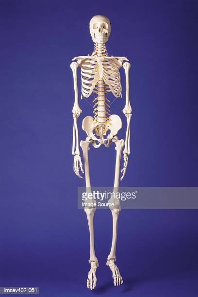 skeleton - human skeleton stock photos and pictures