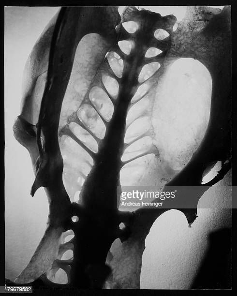 Skeleton the pelvic girdle of a bird 1951